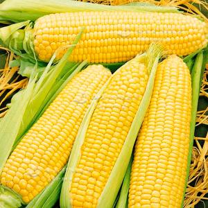Спирит F1 - кукуруза сахарная, 100 000 семян, Syngenta (Сингента), Голландия фото, цена