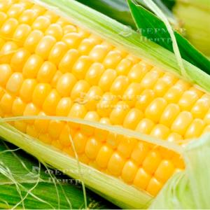 Спирит F1 - кукуруза сахарная, 1 кг семян, Syngenta (Сингента), Голландия - Фасовка  фото №3, цена