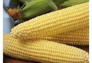 Шайнрок F1 - кукуруза сахарная, 100 000 семян, Syngenta фото, цена
