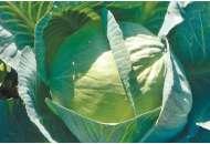 Сторидор F1 - капуста белокочанная, 2500 семян, Syngenta (Сингента), Голландия фото, цена