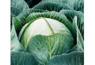 Арос F1 - семена капусты, Moravoseed (Моравосид), Чехия фото, цена