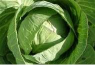 Старт F1 - семена капусты белокочанной, Moravoseed (Моравосид)  фото, цена