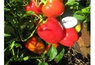 Александр - семена перца, Moravoseed (Моравосид), Чехия фото, цена