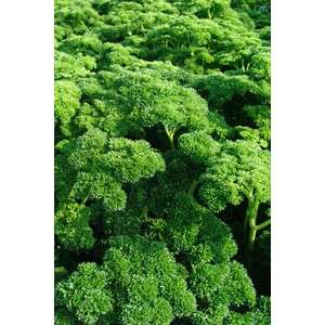 Астра - семена петрушки, Moravoseed (Моравосид), Чехия фото, цена