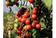 Іділ - томат індетермінантний, кг, Moravoseed (Моравосид), Чехія фото, цiна