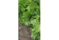 Ленто - салат, Moravoseed (Моравосид), Чехия фото, цена