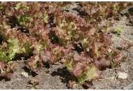 Росела - насіння салату, Moravoseed (Моравосид), Чехія фото, цiна
