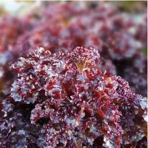 Верала - семена салата, Moravoseed (Моравосид), Чехия фото, цена