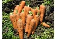 Чикаго F1 - морква, 200 000 насіння, United Genetics (Юнайтед Дженетикс), США фото, цiна