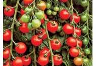 УГ (UG) 205 F1 - томат детерминантный, 500 семян, United Genetics фото, цена
