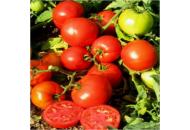 Тропикал Джем F1 - томат детерминантный, 1 000 сем, United Genetics фото, цена
