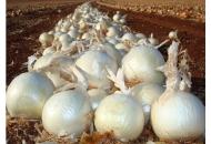 Вайт Меджик F1 - лук репчатый, 100 000 семян United Genetics (США) фото, цена