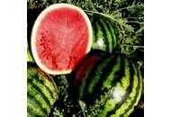 Эрли Джитана F1 - арбуз, 1000 семян United Genetics (США) фото, цена