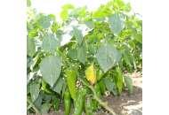Хуэро F1 - перец острый, 250 семян, United Genetics фото, цена