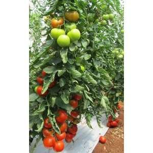 Альтамира F1 - томат индетерминантный, 500 семян, United Genetics фото, цена