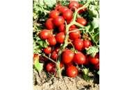 Бриксол F1 - томат детерминантный, United Genetics фото, цена