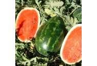 Эрли Саманта F1 - арбуз,1000 семян, United Genetics (США) фото, цена
