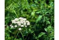 Анис обычный - семена, 0,5 гр., Вассма, Украина фото, цена