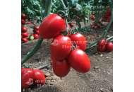 132-111 Сливка F1 - томат индетерминантный, Yuksel Seed (Юксел Сид) Турция фото, цена