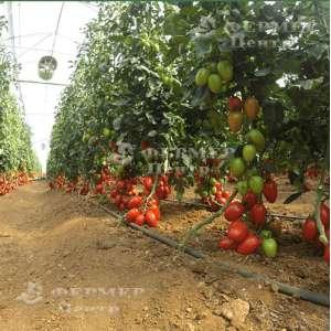 132-111 Сливка F1 - томат индетерминантный, Yuksel Seed (Юксел Сид) Турция фото №2, цена