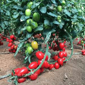132-111 Сливка F1 - томат индетерминантный, Yuksel Seed (Юксел Сид) Турция фото №1, цена