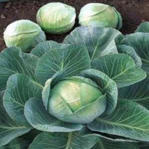 Арривист F1 - капуста белокочанная, 2 500 семян, Seminis (Семинис) Голландия фото, цена