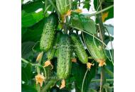 Амант F1 - огурец партенокарпический, 1 000 семян, Bejo/Бейо (Голландия) фото, цена