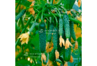 Амур F1 - огурец партенокарпический, 1000 семян, Bejo (Бейо), Голландия фото, цена