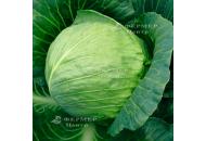 Тиара F1 - капуста белокочанная, 2 500 семян, Bejo (Бейо), Голландия фото, цена
