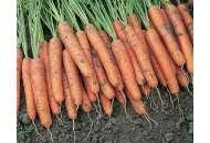 Ниагара F1 - морковь, 100 000 семян (1,6-1,8 мм), Bejo Голландия фото, цена