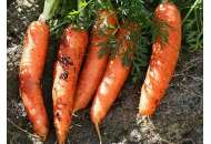 Номинатор F1 - морковь (1,6-1,8 мм), Bejo фото, цена
