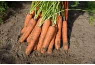 Норвалк F1 - морковь (1,8-2,0 мм), Bejo фото, цена