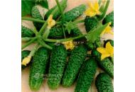 Анзор F1 - насіння партенокарпічного огірка, Bejo / Бейо, Голландія фото, цiна