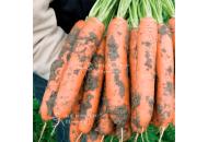 Берлин F1 - морковь, 100 000 семян (2,0-2,2 мм), Bejo Голландия фото, цена