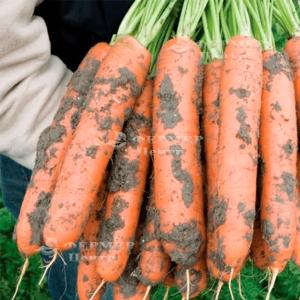 Берлин F1 - морковь, 100 000 семян (1,8-2,0 мм), Bejo Голландия фото, цена