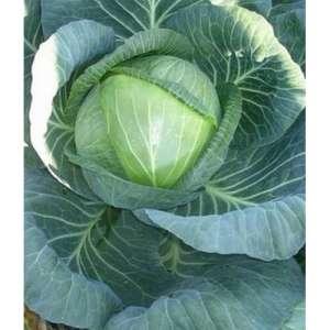 Ринда F1 - капуста белокочанная, 2 500 семян, Seminis (Семинис) Голландия фото, цена