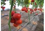 Диаграмма F1 - высокорослый томат, 500 семян, Nunhems (Нунемс) Голландия фото, цена