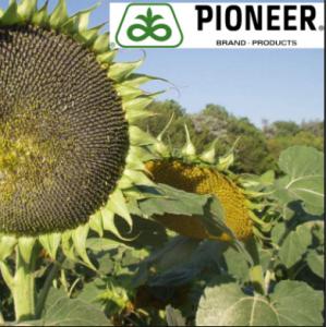 P64LL125 Круизер 350 FS - семена подсолнечника, 1 п.е., Pioneer (Пионер) фото, цена