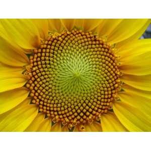 P62LL109 Новый - семена подсолнечника, 1 п.е., Pioneer (Пионер) фото, цена