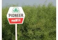 46W14, ріпак, 1 п.е. (2 млн. шт), Pioneer/Піонер фото, цiна