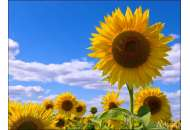 PR64F50 - соняшник, 150 000 насіння, Pioneer (Піонер) фото, цiна