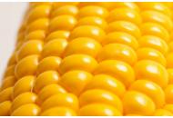 Кукуруза Тусон F1 - 100 000 семян, Syngenta (Сингента), Голландия фото, цена
