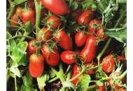 Томат Умекс F1 - 2500 семян детерм. , Syngenta (Сингента), Голландия фото, цена