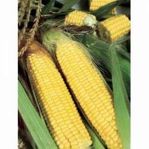 Трофи F1 - кукуруза сахарная, 5 000 семян, Seminis (Семинис) Голландия фото, цена