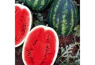 Биант F1 (Эркен F1) - арбуз, 1 000 семян, Yuksel Seed (Юксел Сид) Турция фото, цена