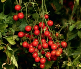 Барбарис F1 (черри) - томат, индетерминантный фото, цена