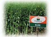 Элвис (Рустика), рапс, 1 п.е.(1,5 млн. шт), Euralis Semenses/Евралис Семенс (Франция) фото, цена