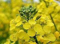 Висби - рапс, 1,5 млн.семян, Lembke/Лембке (Германия) фото, цена