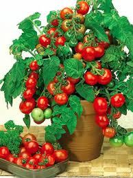 Вилма - томат детерминантный,кг, Moravoseed (Моравосид), Чехия фото, цена