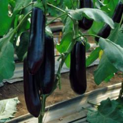 Найт Леди F1 - баклажан, 1000 семян, United Genetics (США) фото, цена